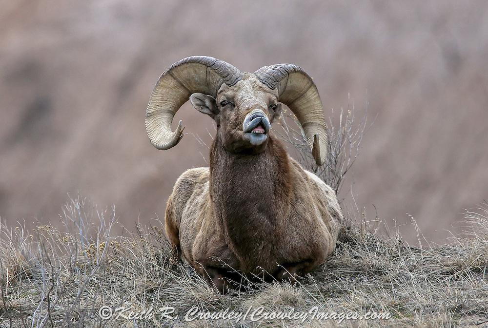 Rocky Mountain Bighorn ram exhibiting Flehmen Response during the breeding season.