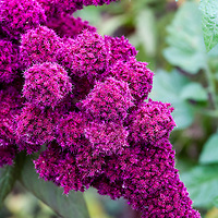 Elephant Head Amaranth. This heirloom was brought to the US from Germany in the 1880s and so named because the huge flower takes on the appearance of an elephant's trunk. The 3'-5' plants produce flowers that are deep reddish-purple in color.