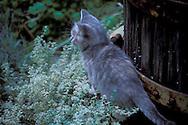Kitten in garden at   Maple Creek Winery Yorkville, Mendocino County, California