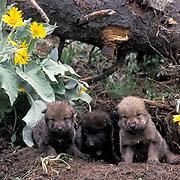Gray Wolf, (Canis lupus) Young pups at den. Montana.  Captive Animal.