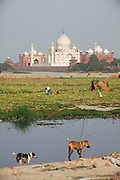 Farmers are working in the fields created by the low summer flow of the heavily polluted Yamuna River, across a view of the Taj Mahal, in Agra.