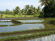 Bright green paddy rice growing in terraces surrounded by coconut trees in Tetebatu village, Lombok, Indonesia