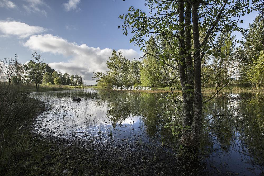 Shoveler's Pond, in the former landfill area of Lake Washington's Union Bay. (Steve Ringman / The Seattle Times)