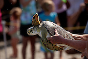 A Rehabilitated green sea turtle released back to the ocean by the Turtle Rescue Team of the South Carolina Aquarium on the Isle of Palms, SC.