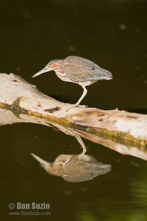 Green heron, Butorides virescens, standing on a floating branch in Carara National Park, Costa Rica