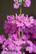 Flowering Candelabra Primrose (Primula beesiana) with purple-red flowers.