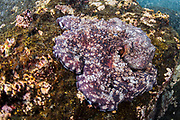 Common octopus (Octopus vulgaris)<br /> GALAPAGOS ISLANDS,<br /> Ecuador, South America