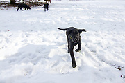 John Haugland's Labrador retriever puppies play in the snow.