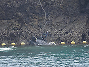 EXCLUSIVE <br /> Caught on Camera how Japans Dolphin killers capture these loving animals,Striped Dolphin's corned and captured for Slaughter <br /> <br /> Japan,  9 of the ruthless hunting vessles found a very large pod of striped dolphins.  After putting up a very long fight, with many family members escaping, the unfortunaterest of the pod was fatigued and unable to continue the fight and sadly the murderers of Taiji were able to slaughter between 34-36 striped dolphins.<br /> This was the 21st drive/slaughter of 2016 and the 40th for the entire season.<br /> <br /> Photo shows: With no avenue of escape, one of the dolphins desperately throws itself against the rock wall, but is dragged away to slaughter by a killer. <br /> ©Sea Shepard/Exclusivepix Media