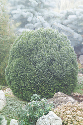 Chamaecyparis lawsoniana 'Minima Glauca' on a foggy winter's day. Cypress