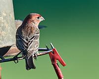 House Finch at the bird feeder. Image taken with a Nikon D5 camera and 600 mm f/4 VR lens (ISO 900, 600 mm, f/5.6, 1/1250 sec).