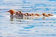 A common merganser (Mergus merganser) guides a dozen of her chicks on Lake Washington near Renton, Washington.