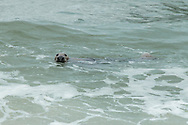 A gray seal swims just offshore along the coast of Provincetown.