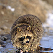 Raccoon (Procyon lotor) fishing in the shallows of a river. Captive Animal
