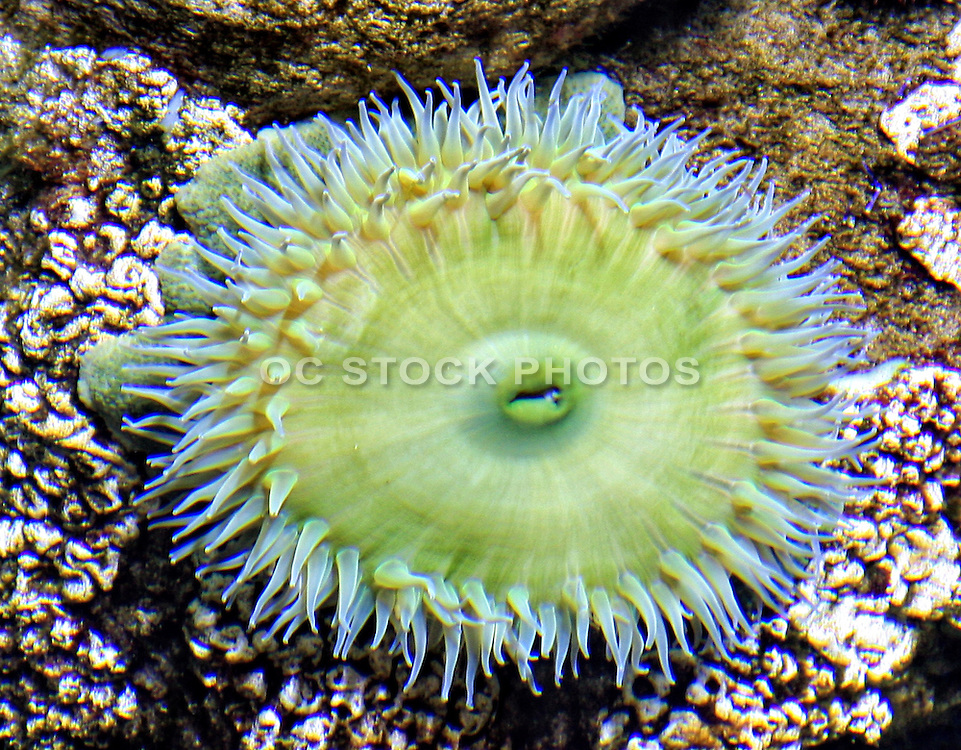 Green Sea Anenome