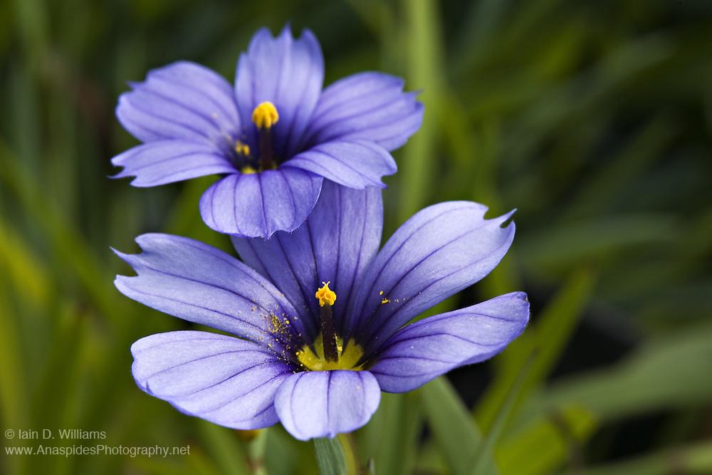 Purple Sisyrinchium - Tasmania