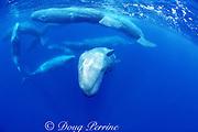 sperm whales, Physeter macrocephalus, socializing, Azores Islands, Portugal ( North Atlantic Ocean )