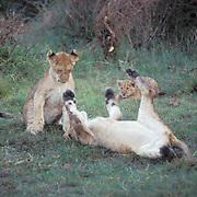 African Lion, (Panthera leo) Cubs playing together. Masai Mara Game Reserve. Kenya. Africa.