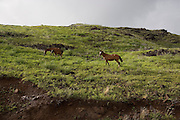 Horses, Ua Huka, Marquesas Islands, French Polynesia<br />