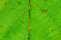 Detail of some leaf pattern, Wuliangshan Nature Reserve, Mount Wuliang Nature Reserve in Jingdong county, Yunnan, China.