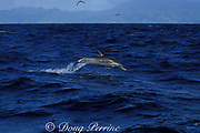 pan-tropical spotted dolphin, Stenella attenuata, Dominica, West Indies ( Eastern Caribbean Sea )