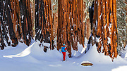 Skier in the Congress Grove at the Senate Group, Giant Forest, Sequoia National Park, California USA
