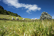 New Zealand, North Island, Bay of Plenty, Near Tauranga, Sheep graze in the meadow
