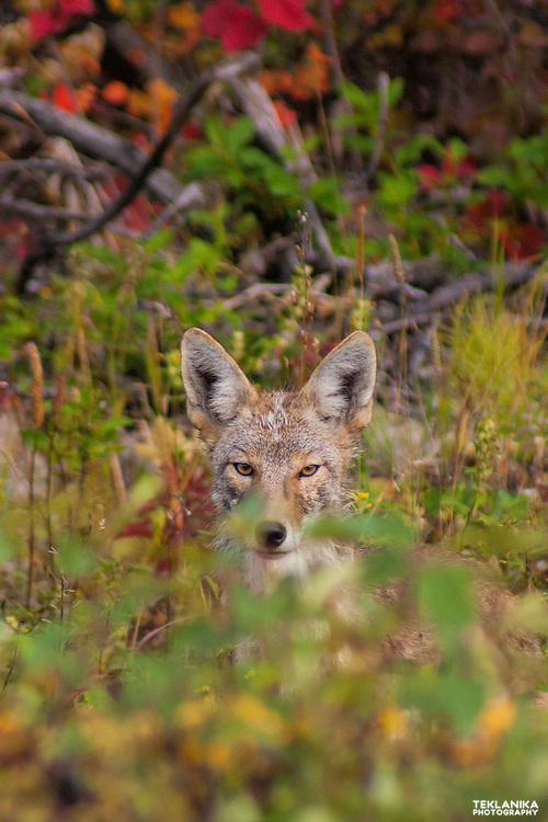 Fall foliage obscures a juvenile coyote in Denali State Park.