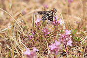 Mottled bee-fly (Thyridanthrax fenestratus). Dorset, UK.