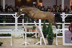 035, Napapijri van't Paradijs<br /> BWP Hengsten keuring Koningshooikt 2015<br /> © Hippo Foto - Dirk Caremans<br /> 21/01/16