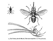 Tsetse fly (Glossina Palpalis) Illustration. This fly carries the microscopic parasites that cause African sleeping sickness. From the book ' Missionary travels and researches in South Africa ' by Livingstone, David, 1813-1873; Arnot, Fred. S. (Frederick Stanley), 1858-1914; Published in London by J. Murray in 1899