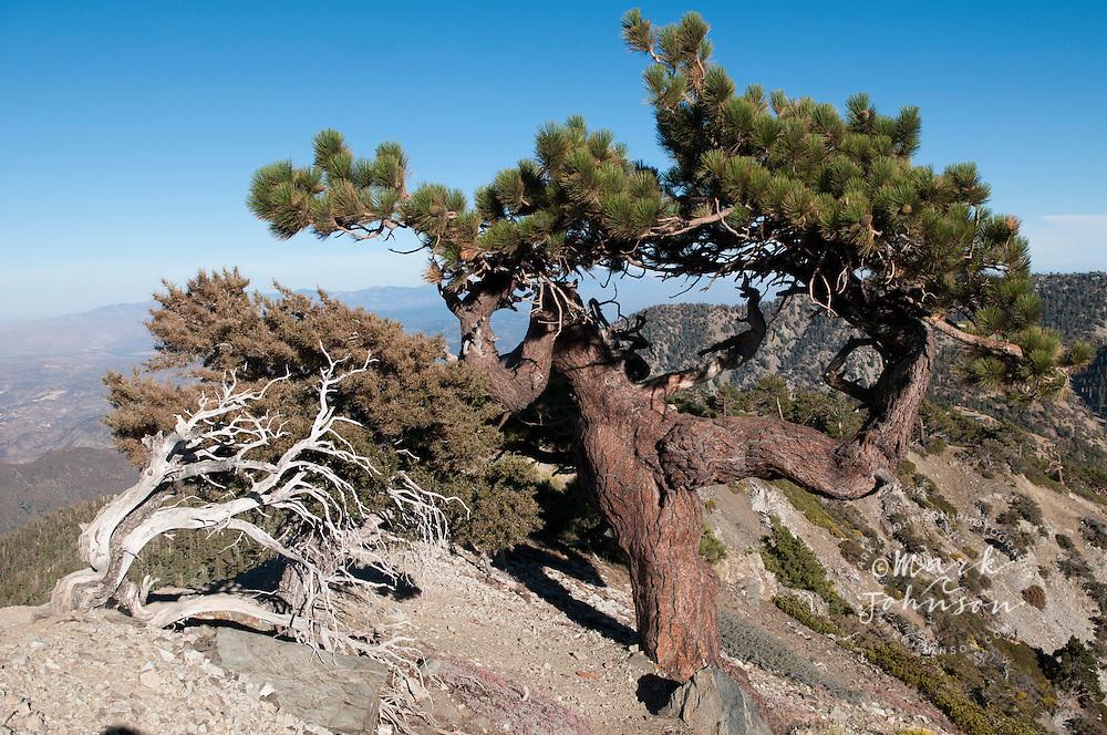 Gnarled pine tree, Mount San Antonio, (Mt. Baldy), San Gabriel Mountains, Los Angeles County, S. California, USA