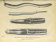 Gastrobranchus The Blind Fish or the Myxine glutinosa. known as the Atlantic hagfish in North America, and often simply as the hagfish in Europe, is a species of jawless fish of the genus Myxine. Copperplate engraving From the Encyclopaedia Londinensis or, Universal dictionary of arts, sciences, and literature; Volume VIII;  Edited by Wilkes, John. Published in London in 1810.
