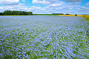 Flax crop blowing in the wind<br /> <br /> Manitoba<br /> Canada