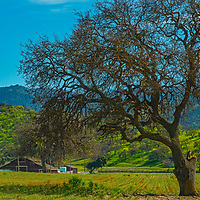 Oak trees wait to leaf out as a wet winter turns spring pastures green in San Benito County, California.