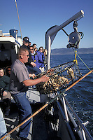 Landing a crab trap full of Dungeness Crab on a party boat off the coast of Fort Bragg, California