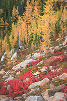 Subalpine Larches (Larix lyallii) in golden autumn color near Cutthroat Pass. North Cascades Washington