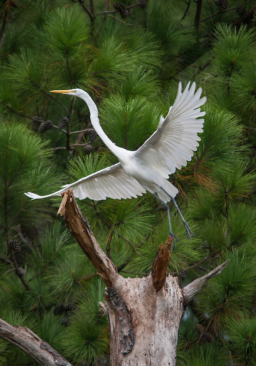 A great white egret takes off from a pine tree.