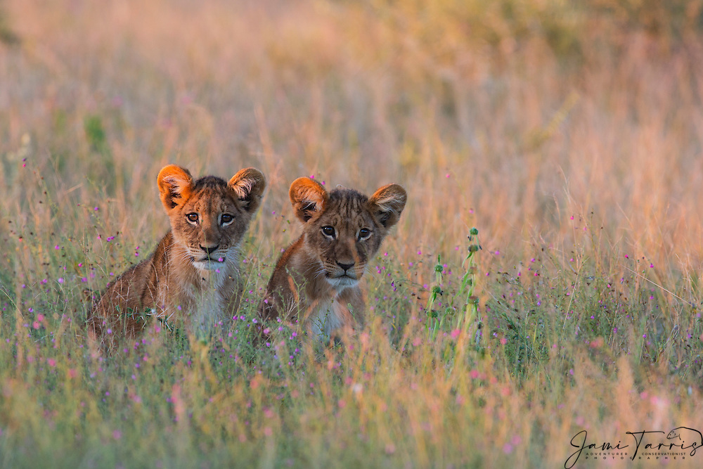 A pair of young lion cubs (Panthera leo) waiting for the return of their mother in the tall grass of the Kalahari during the wet season,Kalahari, Botswana, Africa