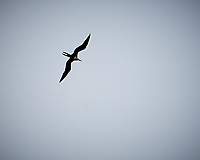 Magnificent Frigatebird (Fregata magnificens) in flight. Viewed from the deck of the MV Explorer. Saint Geroge, Granada, Image taken with a Nikon D3x camera and 70-300 mm VR lens.