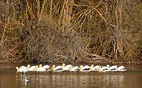American White Pelican, Pelecanus erythrorhynchos, swimming on Upper Klamath Lake, Oregon