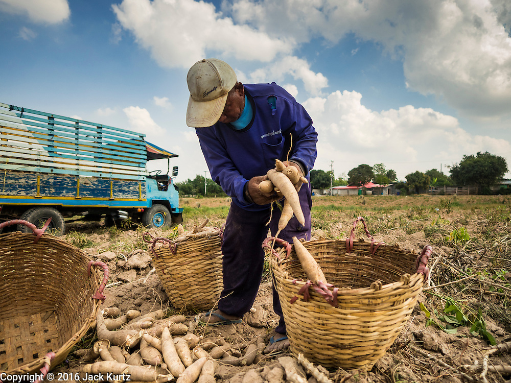 21 JANUARY 2016 - NONG YA KHAO, NAKHON RATCHASIMA, THAILAND: Farmers harvest cassava in a field in Nakhon Ratchasima province of Thailand. Cassava, a drought resistant root vegetable, is one of the vegetables the Thai government is encouraging farmers to grow instead of rice and other more water dependent crops. Thailand is the world's leading exporter of dried cassava flakes.  The drought gripping Thailand was not broken during the rainy season. Because of the Pacific El Nino weather pattern, the rainy season was lighter than usual and many communities in Thailand, especially in northeastern and central Thailand, are still in drought like conditions. Some communities, like Si Liam, in Buri Ram, are running out of water for domestic consumption and residents are traveling miles every day to get water or they buy to from water trucks that occasionally come to the community. The Thai government has told farmers that can't plant a second rice crop (Thai farmers usually get two rice crops a year from their paddies). The government is also considering diverting water from the Mekong and Salaween Rivers, on Thailand's borders to meet domestic needs but Thailand's downstream neighbors object to that because it could leave them short of water.      PHOTO BY JACK KURTZ