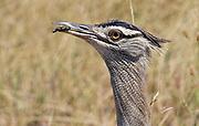 Close up of a Kori Bustard (Ardeotis kori) from Serengeti, Tanzania.