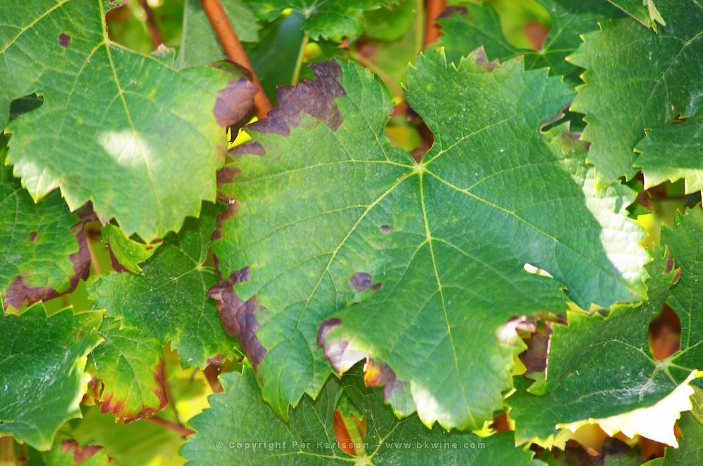 A merlot leaf - Château Pey la Tour, previously Clos de la Tour or de Latour, Bordeaux, France