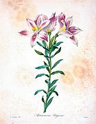 19th-century hand painted Engraving illustration of of an alstroemeria pelegrina, AKA Peruvian lily or lily of the Incas flower, by Pierre-Joseph Redoute. Published in Choix Des Plus Belles Fleurs, Paris (1827). by Redouté, Pierre Joseph, 1759-1840.; Chapuis, Jean Baptiste.; Ernest Panckoucke.; Langois, Dr.; Bessin, R.; Victor, fl. ca. 1820-1850.
