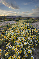 Fields of Coastal Tidytips (Layia platyglossa) near Soda Lake in Carrizo Plains National Monument, California
