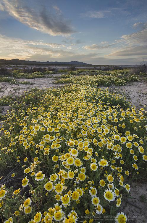 Fields of Coastal Tidytips (Layia platyglossa) near Soda Lake in Carrizo Plains National Monument, California