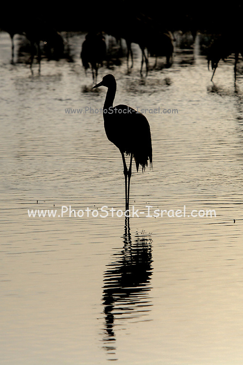 Single Common crane (Grus grus) at dawn. Photographed in the Hula Valley, Israel, in January