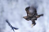 Golden eagle (Aquila chrysaëtos) and Crow (Corvus corone cornix), Flatanger, Norway.