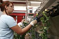 Cooperativa Ucflor (Unione Cooperativa Floricoltori della Riviera) : si trova all'interno del Mercato dei fiori di Sanremo..Nella foto il reparto dove vengono recisi i fiori *** Local Caption ***